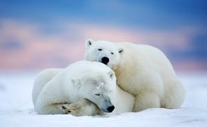 Белые медведи снег северный полюс лежат обои скачать на рабочий стол выского качества категории животные