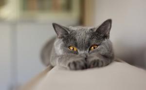 Котик серый лежит