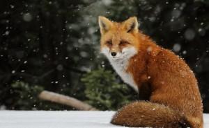 Лиса снег снегопад снежинки рыжая хвост уши обои скачать на рабочий стол выского качества категории животные