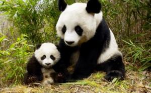 Панда с медвежонком бамбук обои скачать на рабочий стол выского качества категории животные