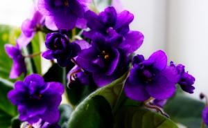 Узумбарская фиалка фиолетовый фиолетовые цветы красиво обои