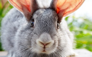 Кролик ушастый обои скачать на рабочий стол выского качества категории животные
