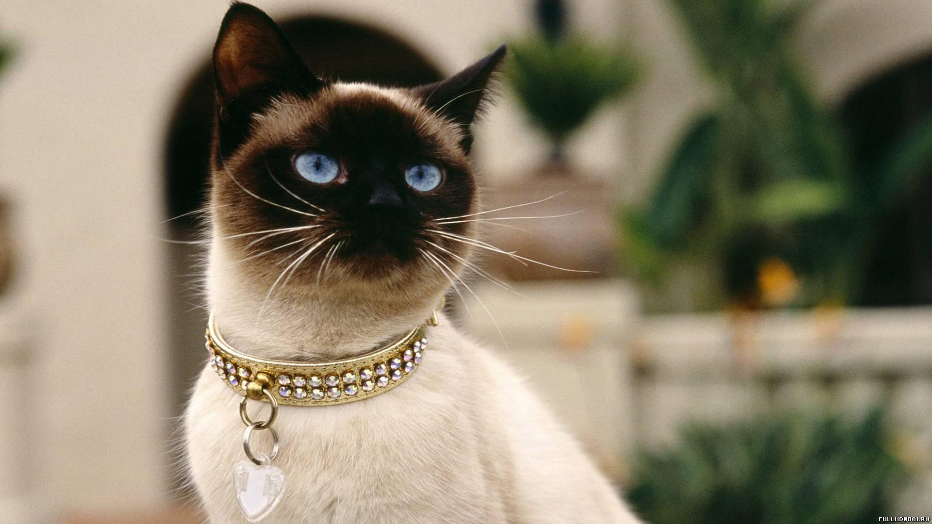 <p>Сиамская кошка</p>