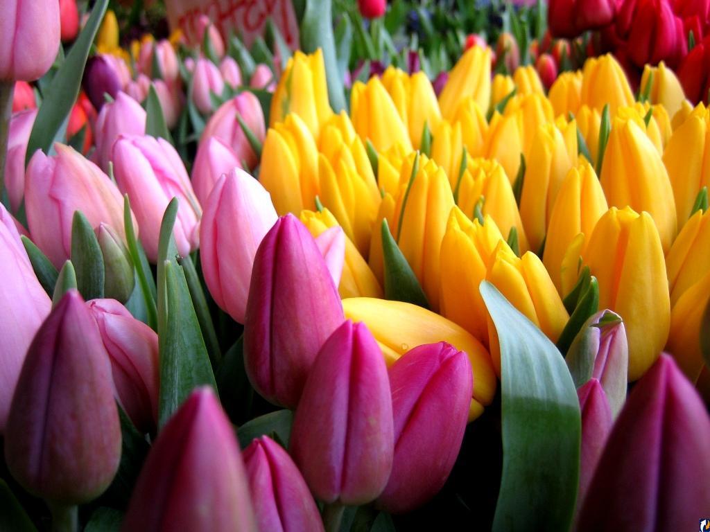<p>Тюльпаны</p>
