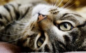 Красивый кот смотрит на рабочий стол заставка обои серый