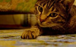 Кот красивый на рабочий стол лежит на полу лапа