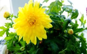 Хризантема осенний цветок на рабочий стол обои скачать желтый