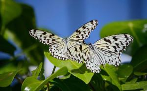 Две бабочки обои скачать на рабочий стол выского качества категории животные насекомые бабочки