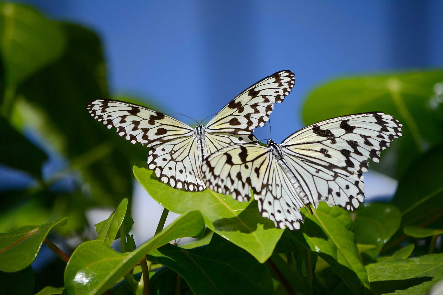 <p>Две бабочки</p>