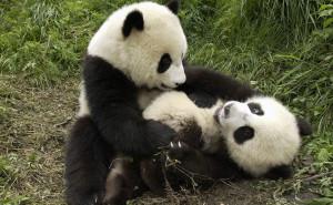 Панды обои скачать на рабочий стол выского качества категории животные