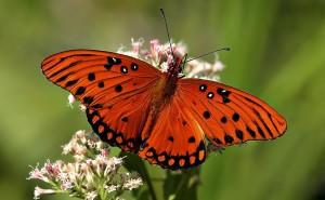 Красная бабочка обои скачать на рабочий стол выского качества категории животные насекомые бабочки