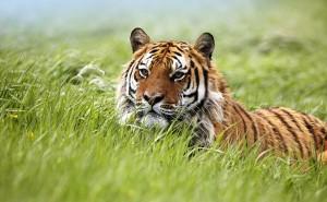 Тигр обои скачать на рабочий стол выского качества категории животные