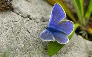 Синяя бабочка обои скачать на рабочий стол выского качества категории животные насекомые бабочки