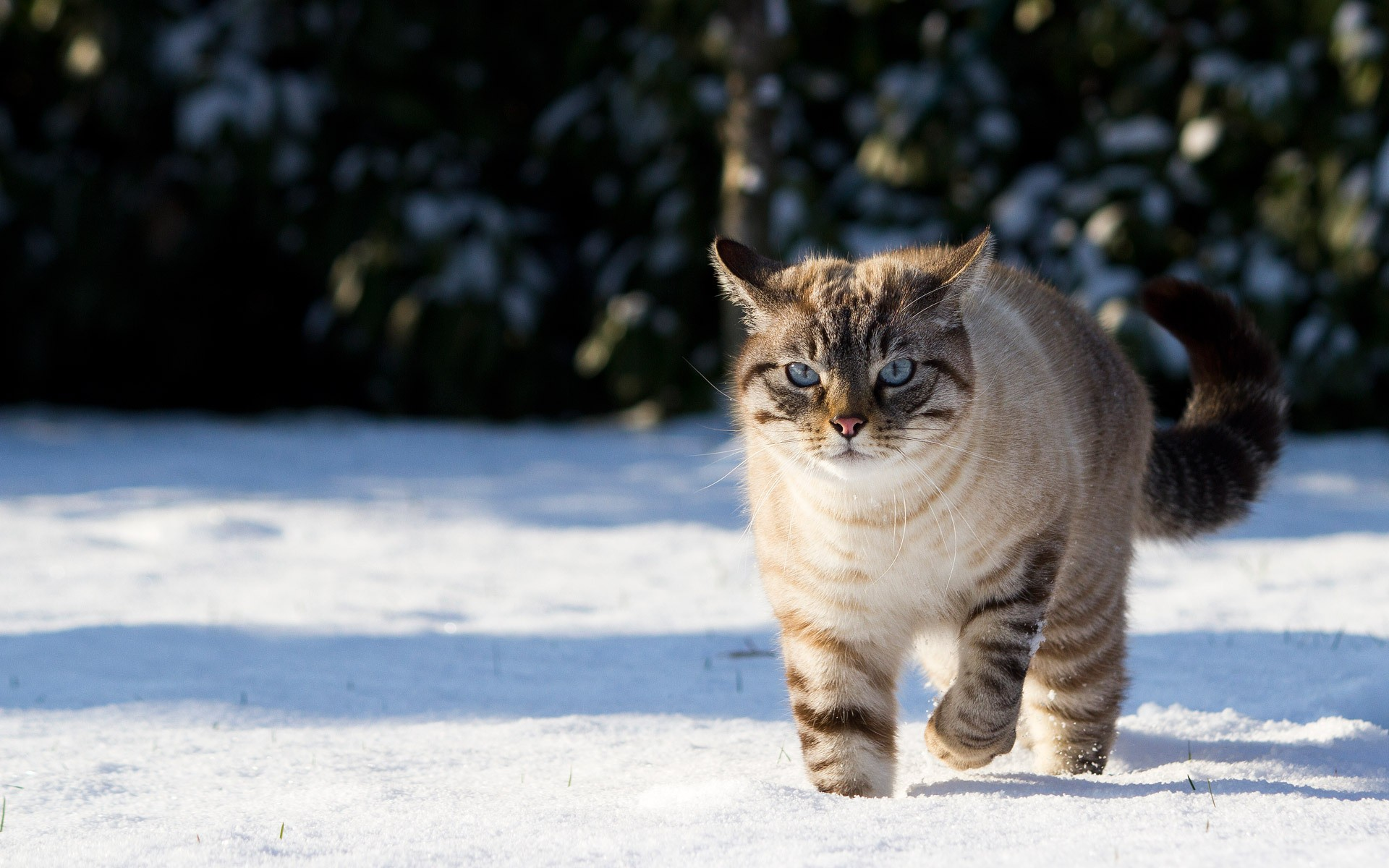 <p>Серый кот</p>