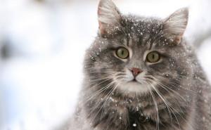 Серый кот зимой в снегу.