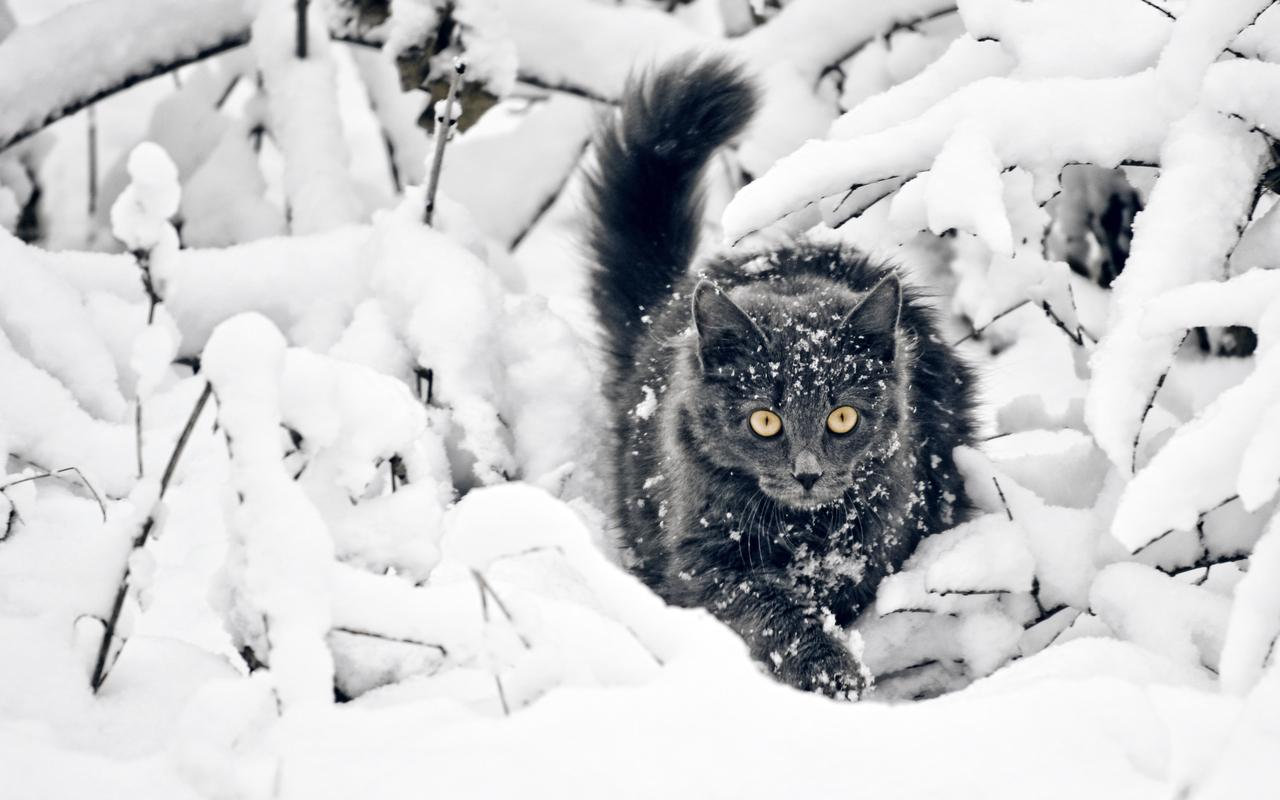 <p>Черный кот</p>