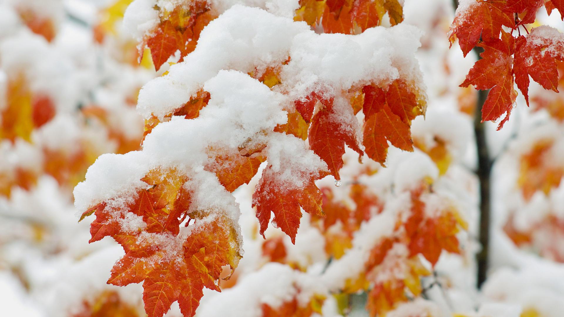 <p>Листья в снегу</p>