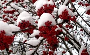 Рябина красная в снегу