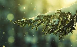 Елочная ветка в снегу.