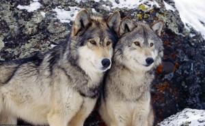 Волки серые хищные