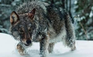 Волк зимой в снегу