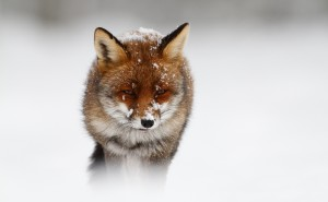 Лиса под снегом