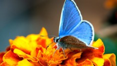 Бабочка на цветке синяя желтый макро