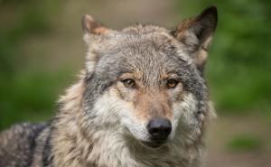 Волк Серый коричневый волк обои скачать на рабочий стол выского качества категории животные