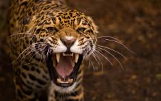 Дикий леопард рычит злой обои скачать на рабочий стол выского качества категории животные