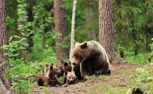 Медведица с медвежатами в лесу играют бурые деревья трава обои скачать на рабочий стол выского качества категории животные