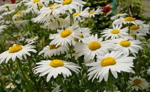 Садовые ромашки белые с желтым крупнве на солнце красиво цветы