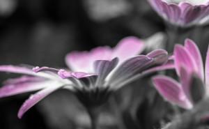 Цветок с каплями росы черно-белый фиолетовый Макро на рабочий стол обои скачать крупные рисунки широкоформатные обои