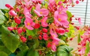 Бегония вечноцветущая розовая с зелеными листьямина рабочий стол обои цветы