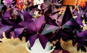 Оксалис фиолетовый сиреневый в горшке на рабочий стол скачать