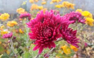 Хризантема осенний цветок на рабочий стол обои скачать красный бардовый