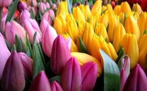 Тюльпаны скачать обои на рабочий стол розовые желтые