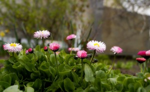 Маргаритки на рабочий стол розовые белые скачать высокого качества