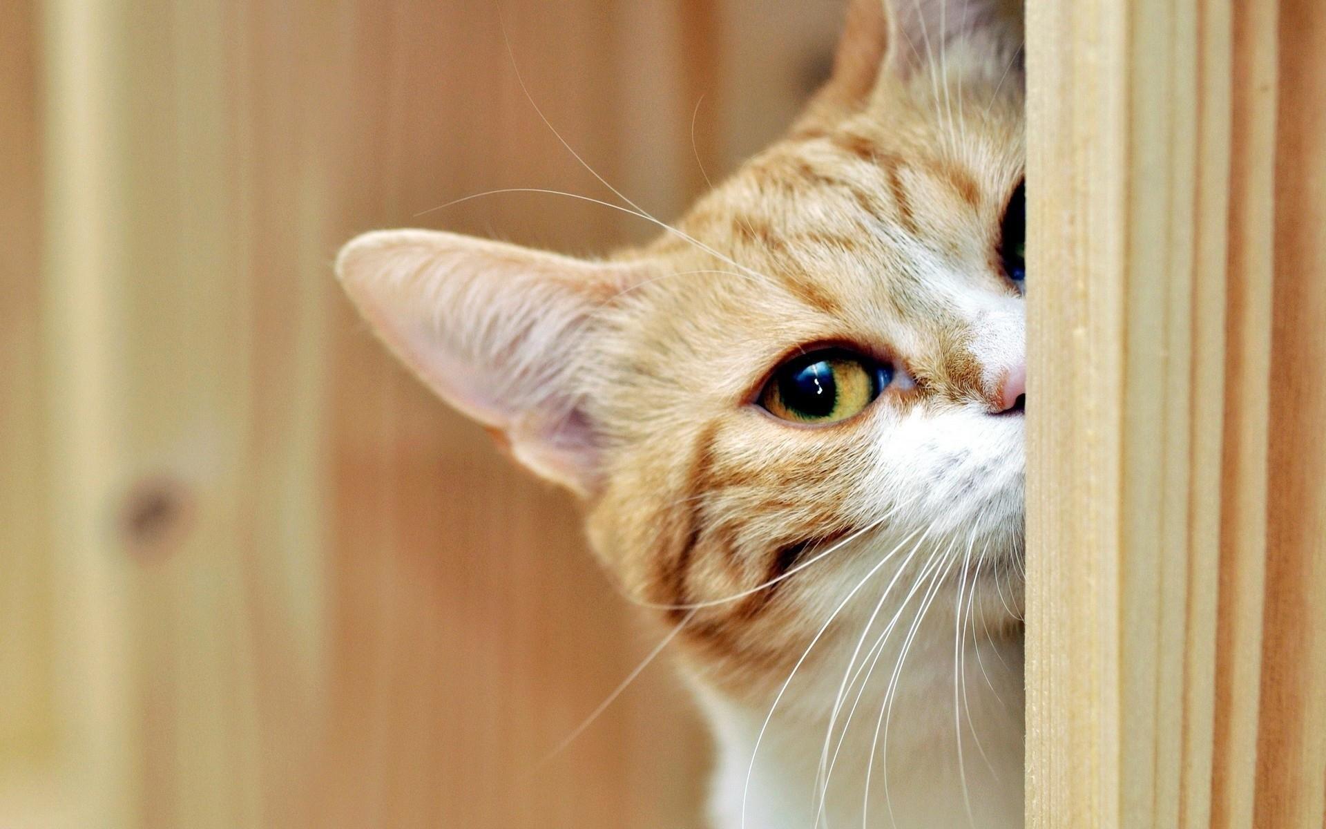 <p>Рыжий кот</p>