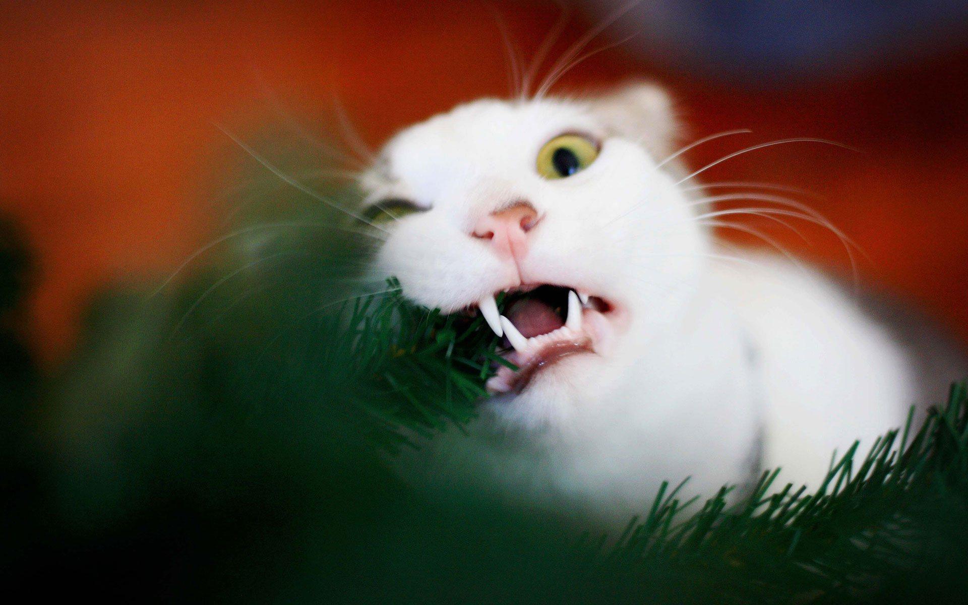 <p>Белый кот</p>