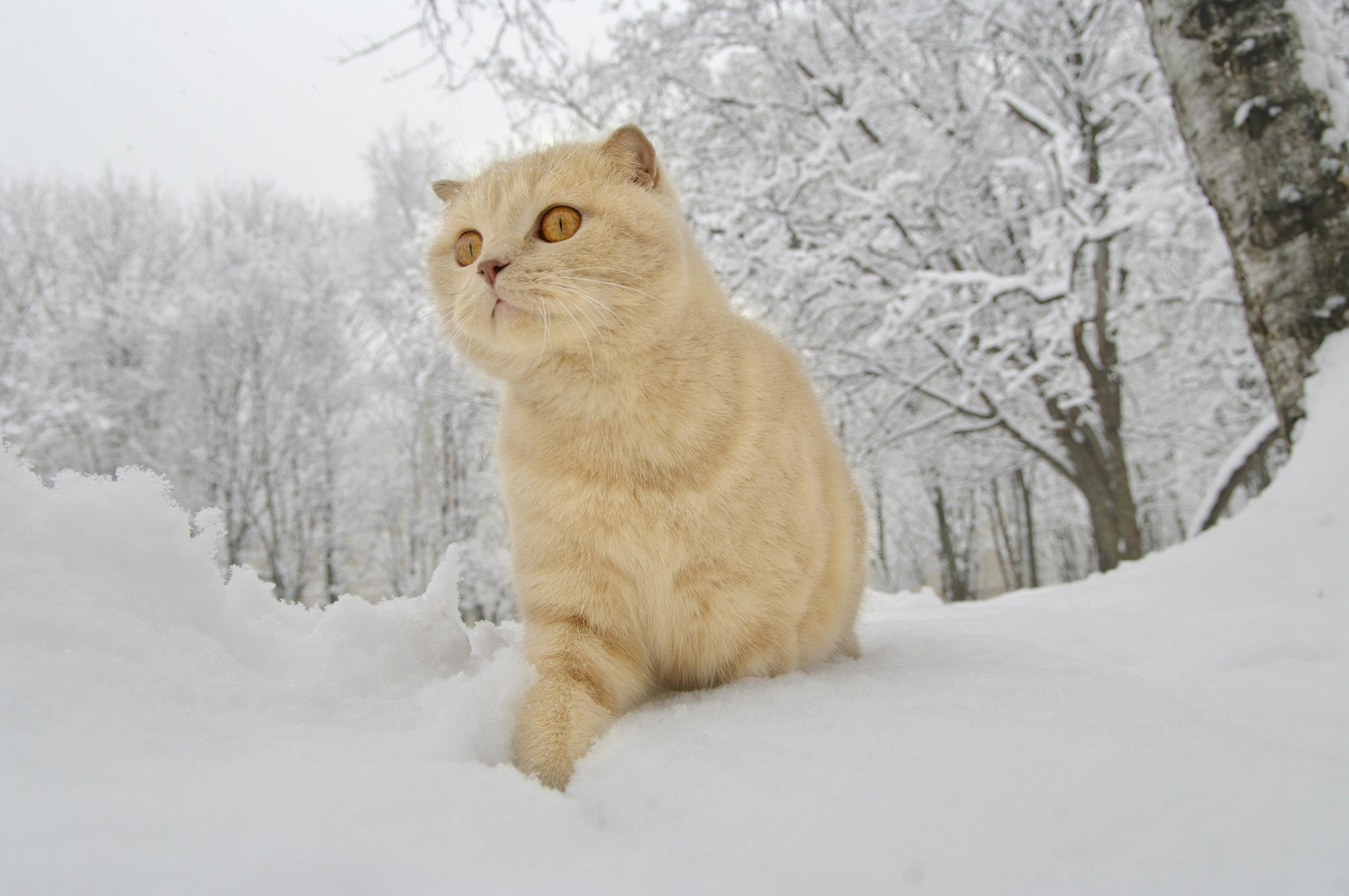 Обои на рабочий стол зимние коты