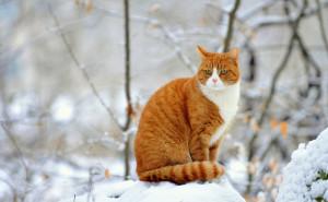 Рыжий кот зимой в снегу