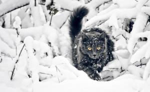 Черный кот зимой в снегу