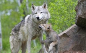 Волчица с волчонком