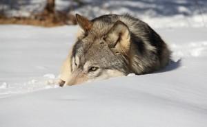 Волк лежит в снегу на солнце